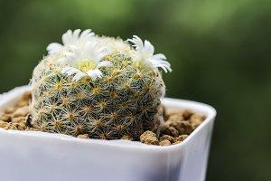 Mammillaria schiedeana cactus flower