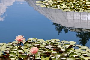 Pink Water Lilies with Reflected Sky