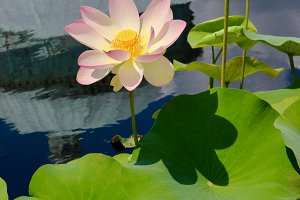 Pink Water Lily in Water & Lilypads