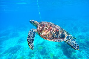 Sea green turtle. Underwater photo.