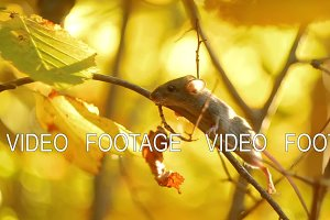 Small Mouse on a Branch in Golden Autumn Sunny Forest. Mammals of the Forest. Wild Life