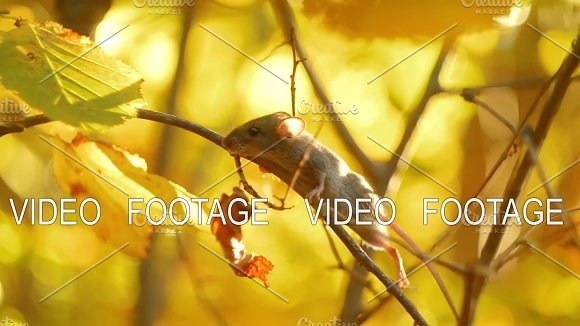 Small Mouse On A Branch In Golden Autumn Sunny Forest Mammals Of The Forest Wild Life