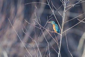 alcedo atthis, kingfisher,