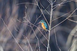 _NIK2851.alcedo atthis, kingfisher,