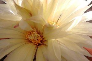 Beautiful cactus flower