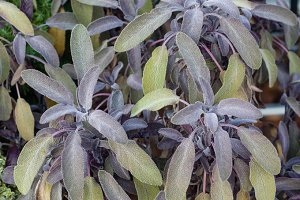 Purple sage plants in the garden