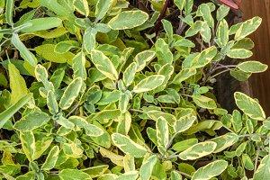 Variegated sage plants