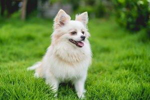 Chihuahua or Chi hua hua dog