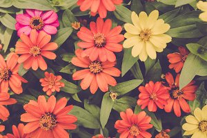 Colourful Gebera flower background