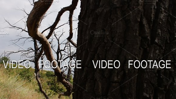 Dead Dry Trees In The Forest Shooting With A Slider Dolly The Curves Of The Branches Of The Trees Intertwine Tree Bark Trunk Global Warming The Forest Perishes Ecological Catastrophy Mystical Atmosphere