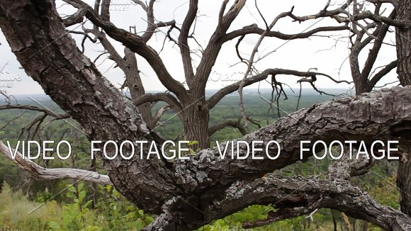 Branches Of Dry Dead Trees Harsh Climate The Trees Are Dying Dead Trees In The Forest Mystical Fairytale Atmosphere The Interweaving Of Branches Of Trees Shooting From The Slider Movement Of The Camera On The Slider