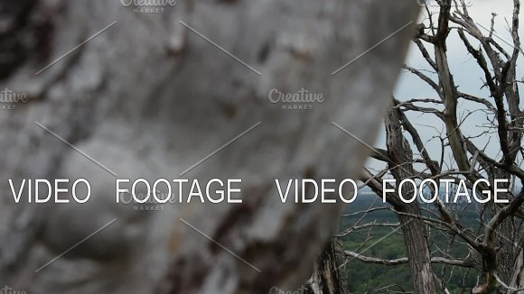 Parallax Effect Movement Of The Camera Dry Dead Trees In The Forest Ecological Catastrophe The Forest Dies From Lack Of Water Dry Curves Of Tree Branches Movement Of The Camera On The Slider Global Warming Mystical Atmosphere