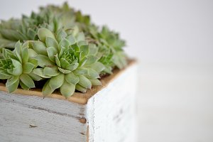 Succulents in white wood planter