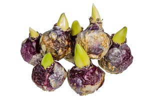 Purple hyacinth bulbs