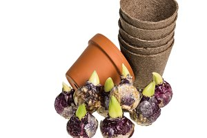 Peat pots and hyacinth bulbs