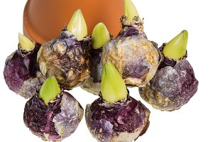 Hyacinth bulbs with clay pot