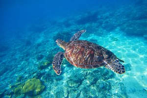 Sea turtle in water. Marine photo.