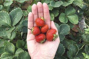 Fresh strawberries on palm - summer garden