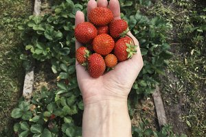 A lot of fresh strawberries in hand