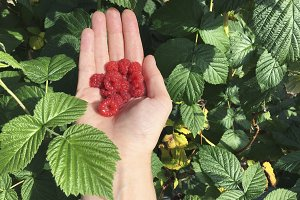 Fresh raspberries in the palms - in summer garden