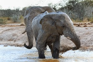 Elephants getting muddy