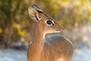 The cutest antelope Dik-Dik