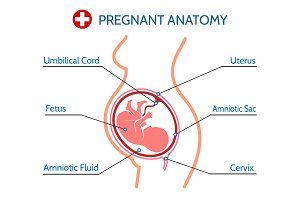 Pregnancy anatomy medical illustration