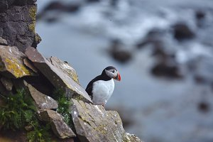 Puffin on the rocks at latrabjarg Iceland on a sunny day