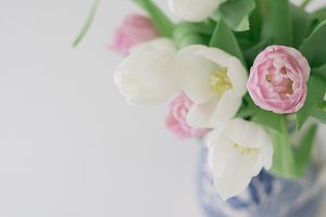 Pink and White Tulip - Floral Stock