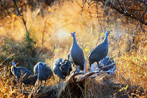 Sun bathing Helmeted guinea fowl