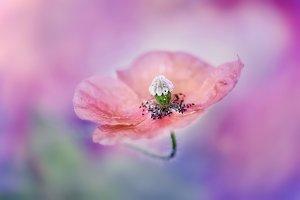 Nature's Magic of  Poppy