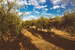 Olive tree field