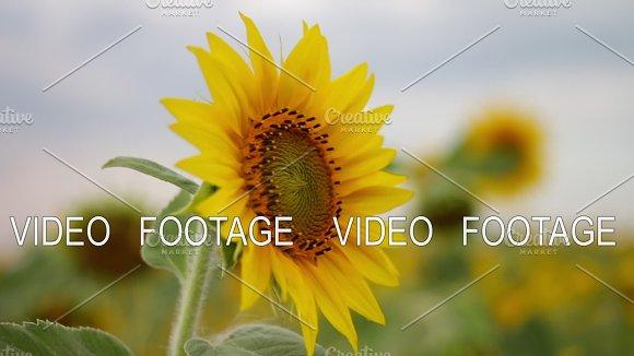 Sunflower In The Field Sun Flower Summer Mood