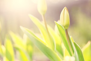 vintage tulip flower on natural sunny background