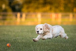 Cocker Spaniel Chasing a Ball