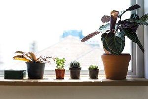 Tree pots on the window