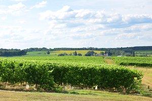 Landscape with vineyards
