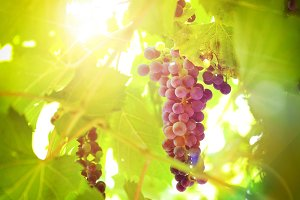 Grapes on plant in a vineyard detail