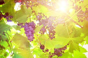 Grapes on plant in a vineyard