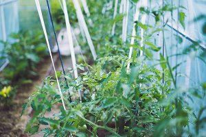 Growing a tomato in a greenhouse