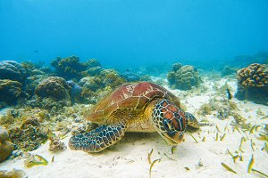 Sea turtle. Underwater photo.