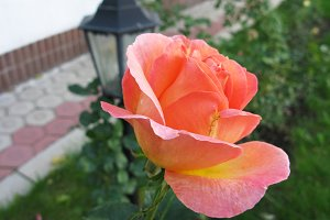 Pink rose flower plant in the garden photo