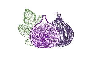 Fig Fruit Hand Draw Sketch. Vector