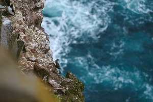 Stunning Latrabjarg cliffs, Europe's largest bird cliff and home to millions of birds, including puffins, northern gannets, guillemots and razorbills.