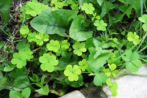 Green clover dandelion grass plant macro photo background