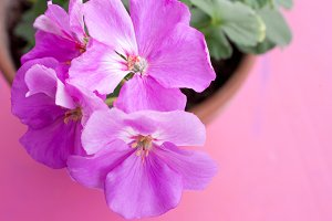 Pelargonium flowers