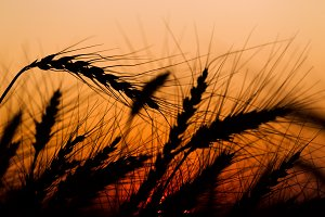 Spikes of ripe rye on a summer evening