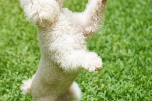 White poodle stand on back paw