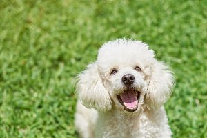 One happy white poodle dog