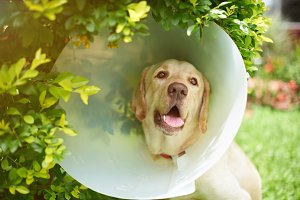 Labrador dog with cone collar